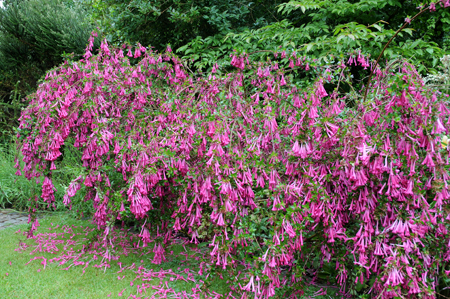 Abelia floribunda